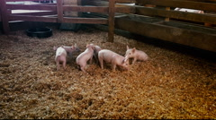 baby pigs playing - stock footage