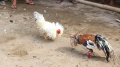 Roosters circling and attacking each other at cockfight in Ubud, Bali, Indonesia Stock Footage