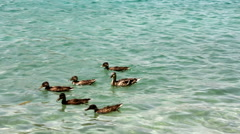 Ducks on the lake Stock Footage