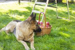 dog is guarding apples in the garden - stock photo