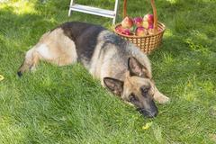 Dog is guarding apples in the garden Stock Photos