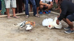 People during traditional cockfighting competition. Ubud, island Bali, Indonesia - stock footage
