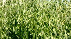 Background Oats immature in the wind. Stock Footage