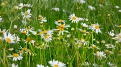Chamomile field. Stock Footage