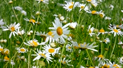 Chamomile flowers sway in the wind. Stock Footage