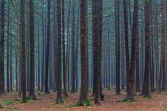 dense dark coniferous forest autumn day - stock photo