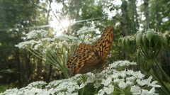 Spotty brown butterfly in the sun on a pink clover in the woods close-up Stock Footage