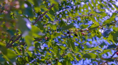 The branches of a large mulberry tree - stock footage