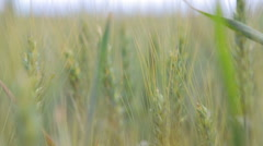Wheat field in the process of maturation. Green wheat field on a sunny day. Stock Footage