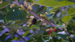 Stock Video Footage of Berries ripen on the branches of the mulberry tree