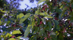 Grapes berries on the branches of the mulberry tree Stock Footage
