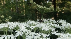 Moustached beetle on small white flowers on a background of forest macro Stock Footage