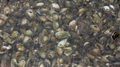 Shells of Mussels Under the Water as Background Stock Footage