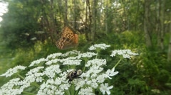 Brown-spotted beetle and butterfly in the sun on a white flower in the forest Stock Footage