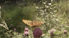 Butterfly drinking the nectar of pink clover in summer forest, close-up Stock Footage