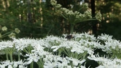 Moustached beetle on a white flower saw the camera  Stock Footage