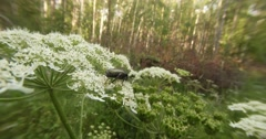 Green beetle slowly chews the petals on a white flower in the forest Stock Footage