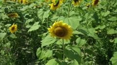 sunflower field in the wind in the afternoon - stock footage