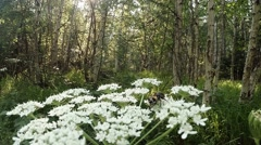 Spotted butterflies flying over a huge white flower in the forest sun,  beetle Stock Footage