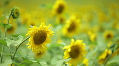 Sunflower with a bee in a field Stock Footage