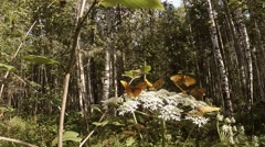 Few spotty brown butterfly on a huge white flower in the forest Stock Footage