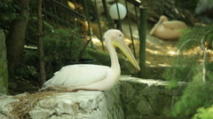 White pelican in zoo Stock Footage