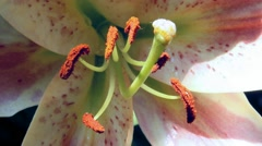 Closeup pistil of Blooming Lilium Stock Footage