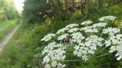 Brown-spotted beetle creeps on small white flowers and eating the petals Stock Footage