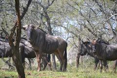 Herd of Wildebeest Stock Photos