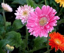 Gerbera flowers Stock Photos