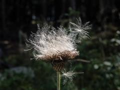 White and flutty thistle seeds - stock photo