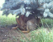 Rabbit Caught On Camera Trap - stock photo