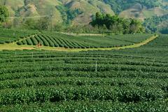 Tea Plantation - stock photo