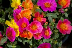 Portulaca Flowers Stock Photos