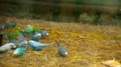 Lots of colorful budgies peck feed Stock Footage
