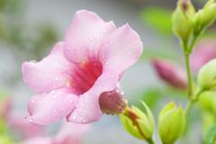 Allamanda Flower Stock Photos