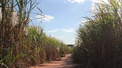 Sugarcane field - stock footage