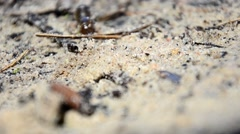 Larvae of water beetles Dytiscus persicus. The larva of the beetle crawls pupate Stock Footage