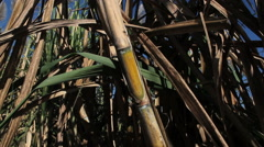 Sugarcane field Stock Footage
