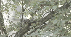 Pigeon Nesting in Tree (S-Log) Stock Footage