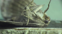 Dry dead hairy butterfly, macro, insect Stock Footage