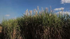 Sugarcane field, sugarcane flowers Stock Footage