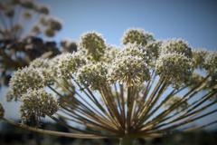 Flower of angelica - stock photo
