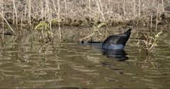 Australian Purple Swamp Hen (Porphyrio porphyrio) feeding in the shallows. Stock Footage