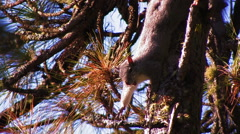CUTE SQUIRREL YAWNS IN PINE TREE WITH GOLDEN LIGHT Stock Footage