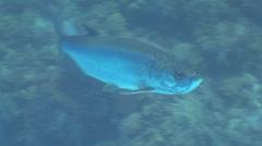 Tarpon Underwater Stock Footage