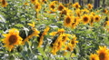 Field with sunflowers Footage
