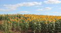 Field with sunflowers HD Footage