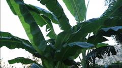 Tropical rain is falling on the banana tree Stock Footage