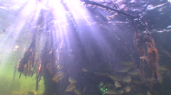 Sun rays In  Mangroves of the Caribbean Sea. Stock Footage
